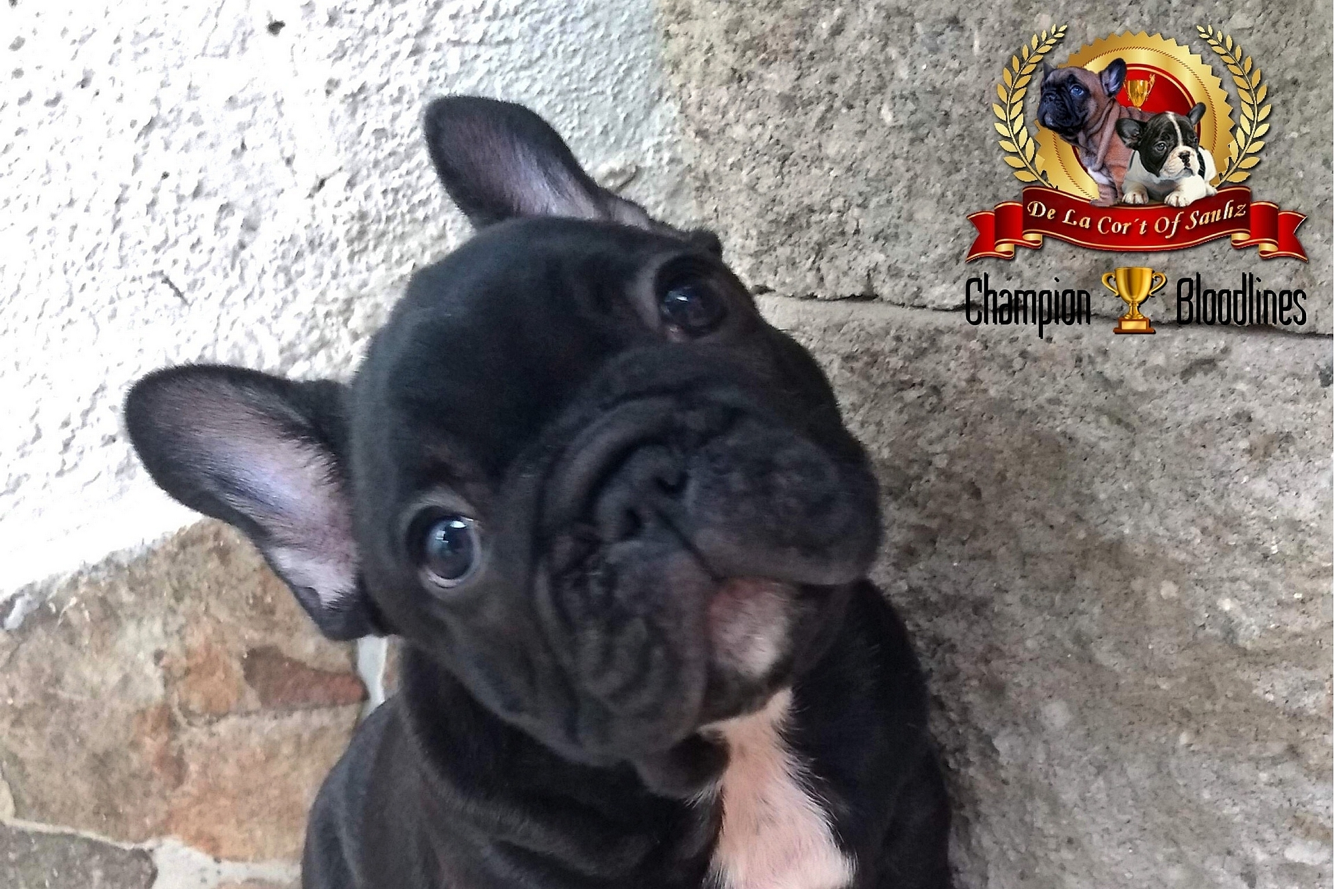 Cachorro Black Brindle