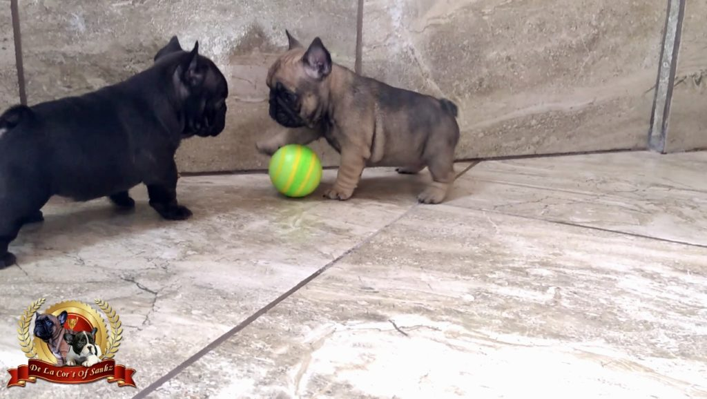 Video cachorras bulldog francés jugando
