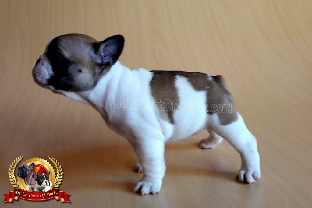 hembra frenchie vaquita pied fawn campeona bulldog frances delacortofsanhz